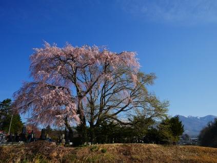 田端の枝垂桜2