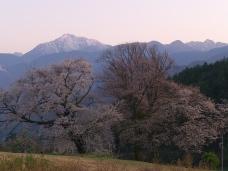 夕暮れの鼎談桜4