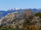 朝の鼎談桜4