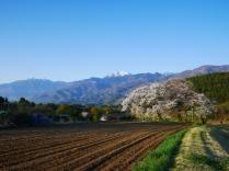 朝の鼎談桜2