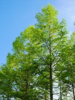 新緑の落葉松