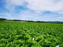 晩夏の空と高原野菜畑8
