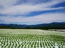 晩夏の空と高原野菜畑10