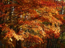 紅葉の紅葉2
