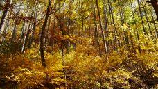 黄金色に輝く森の中1
