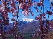 雪と桜と甲斐駒と3