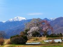 春の朝、甲斐駒と田端の枝垂桜