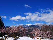 雪と桜と甲斐駒と4