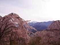 桜色の夕暮れ1