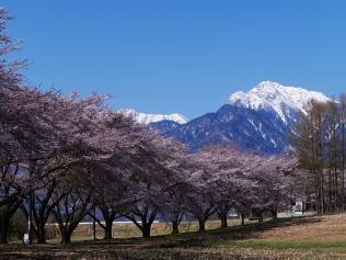 蕪の桜並木と甲斐駒