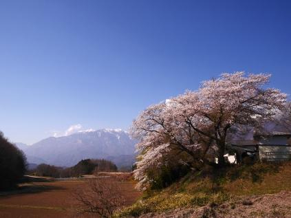 鳳凰三山と桜