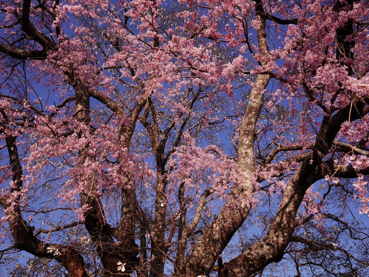 春色の八ヶ岳山麓、夕暮れに田端の枝垂桜を(2019.4.16~20)