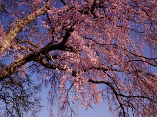 午後の田端の枝垂桜9