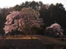午後の田端の枝垂桜8