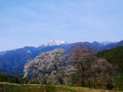 GWの朝に鼎談桜2