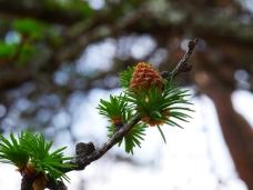 落葉松の雄花4