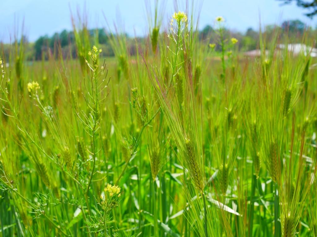 若い麦の穂