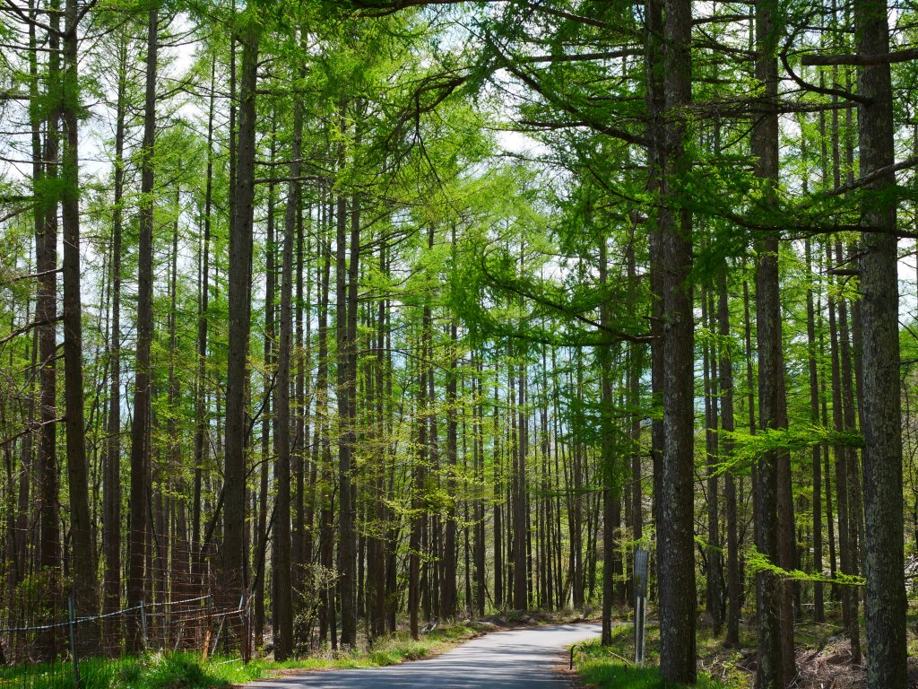新緑に染まる落葉松の小道