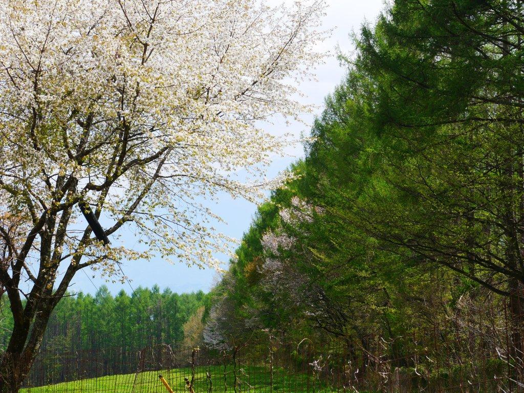 桜と落葉松の新緑