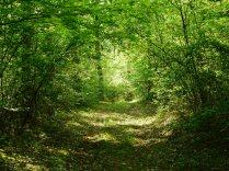 新緑の落葉松林7