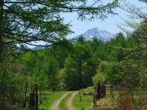 新緑の落葉松と八ヶ岳
