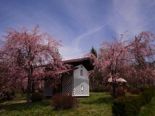 まてのくらと枝垂桜