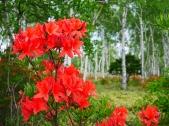 八千穂高原の白樺とレンゲツツジ4