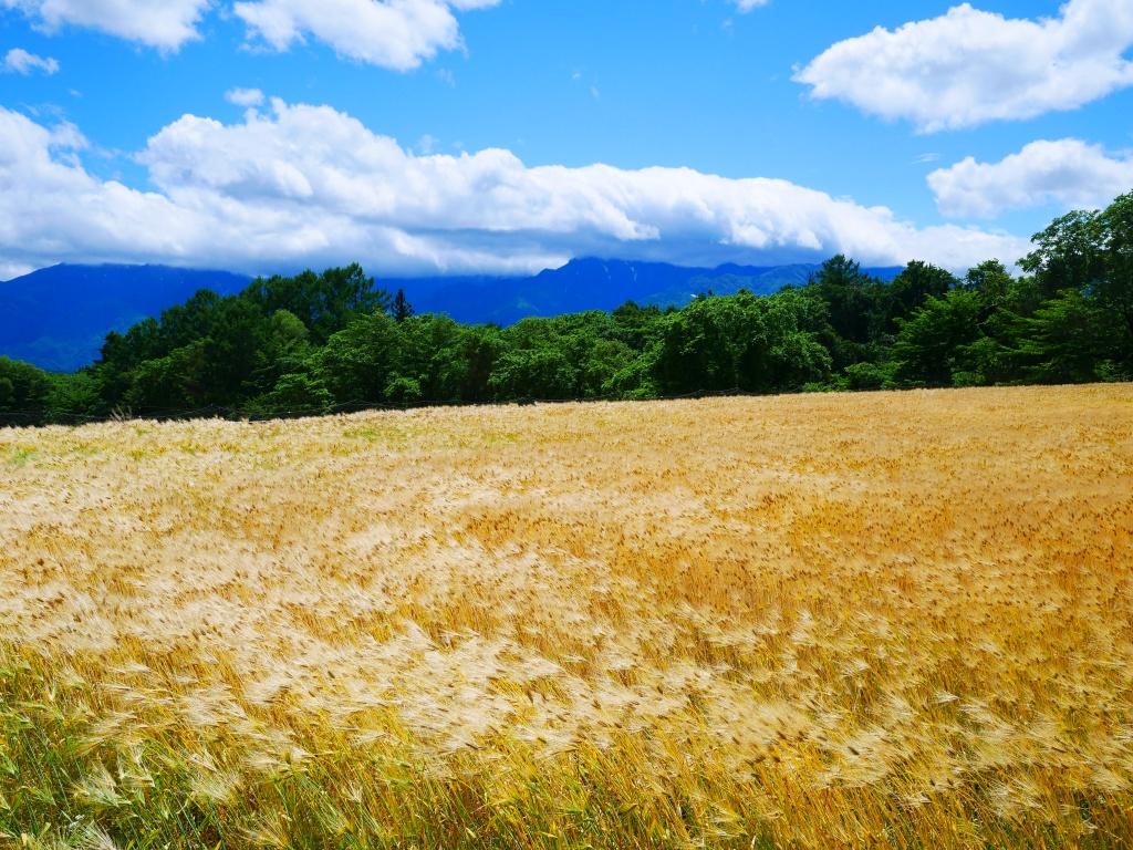 金色の麦秋