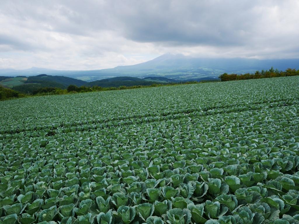 嬬恋村のキャベツ畑2019_1
