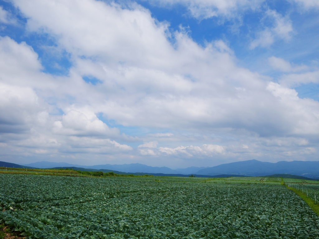 嬬恋村のキャベツ畑2019_3