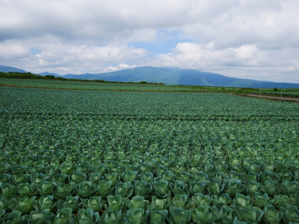 嬬恋村のキャベツ畑2019_5