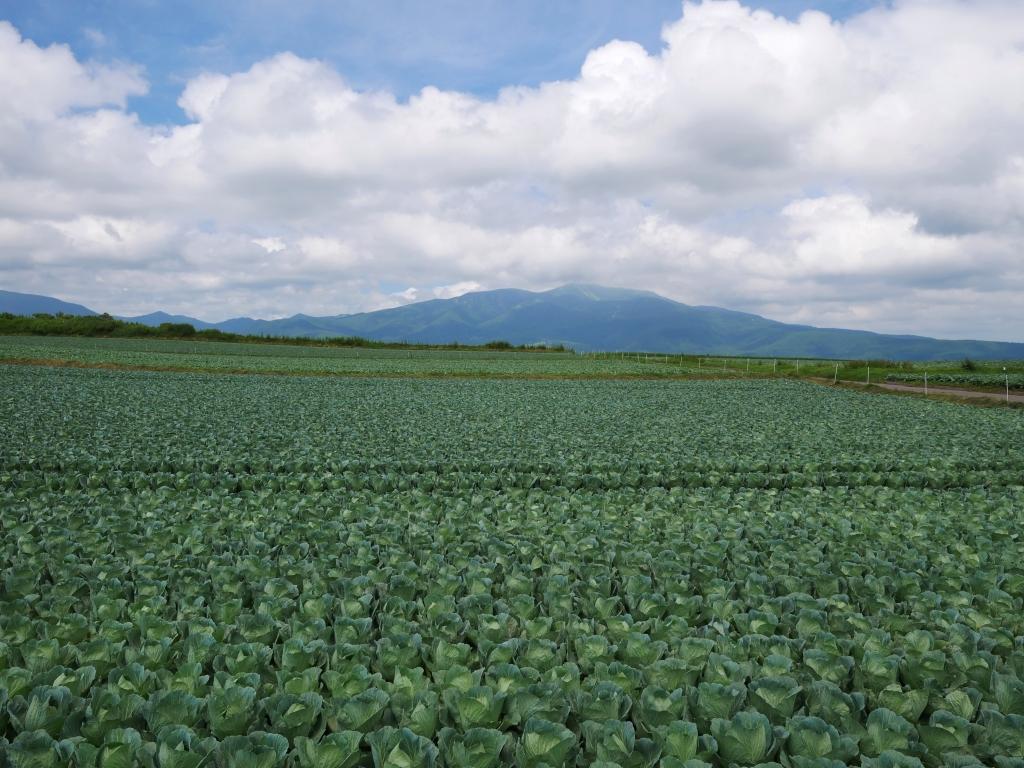嬬恋村のキャベツ畑2019_4