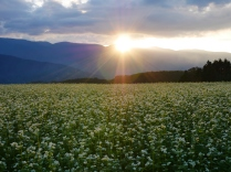 夕日を浴びる蕎麦畑