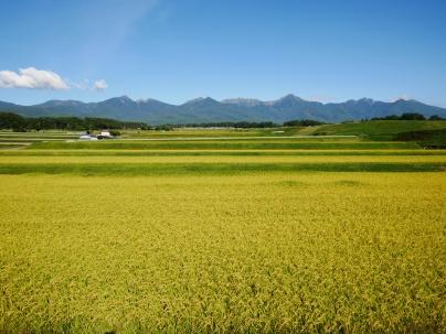 実りの色に染まる圃場と八ヶ岳