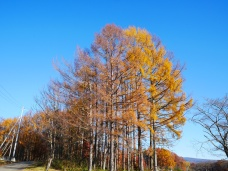 冬空と落葉松の黄葉