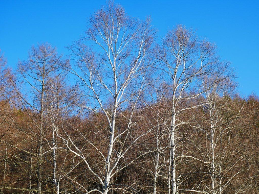 初冬の空と白樺