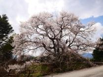少し早い春の訪れ、関の桜1