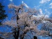 春空と熱那神社の桜2