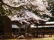 春空と熱那神社の桜6