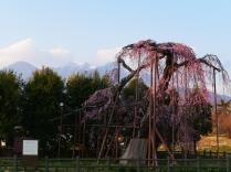 夕暮れに佇む神田の大糸桜